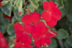 Κόκκινα όμορφα λουλούδια Στοκ Εικόνες