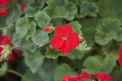 Κόκκινα όμορφα λουλούδια Στοκ εικόνα με δικαίωμα ελεύθερης χρήσης
