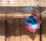 κόκκινα όμορφα ψάρια betta Στοκ Εικόνες