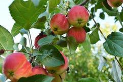 Κόκκινα ώριμα μήλα που κρεμούν σε έναν κλάδο των δέντρων της Apple ενάντια στον ουρανό στον κήπο Στοκ φωτογραφία με δικαίωμα ελεύθερης χρήσης