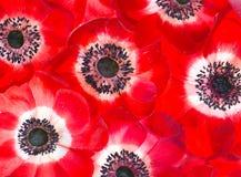 Κόκκινα anemonas στο άσπρο υπόβαθρο Στοκ φωτογραφία με δικαίωμα ελεύθερης χρήσης