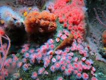 Κόκκινα anemones ενυδρείων, Στοκ εικόνα με δικαίωμα ελεύθερης χρήσης
