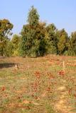 Κόκκινα anemones, Ισραήλ Στοκ εικόνες με δικαίωμα ελεύθερης χρήσης
