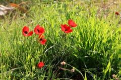Κόκκινα anemones, Ισραήλ Στοκ φωτογραφία με δικαίωμα ελεύθερης χρήσης