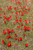 Κόκκινα anemones, Ισραήλ Στοκ Εικόνες