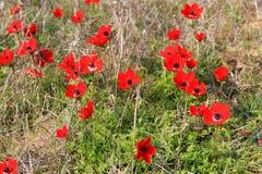 Κόκκινα anemones, Ισραήλ Στοκ Φωτογραφία