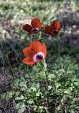 Κόκκινα anemones στη χλόη Στοκ Εικόνα