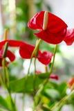 Κόκκινα anthurium λουλούδια στο σπίτι Στοκ εικόνες με δικαίωμα ελεύθερης χρήσης