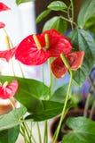 Κόκκινα anthurium λουλούδια στο σπίτι Στοκ Φωτογραφίες