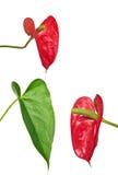 Κόκκινα anthurium λουλούδια και πράσινο φύλλο που απομονώνονται στο λευκό Στοκ εικόνα με δικαίωμα ελεύθερης χρήσης