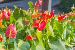 Κόκκινα Anthurium λουλούδια στον κήπο Στοκ Φωτογραφίες