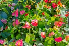 Κόκκινα Anthurium λουλούδια στον κήπο Στοκ φωτογραφία με δικαίωμα ελεύθερης χρήσης