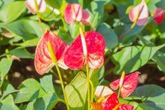 Κόκκινα Anthurium λουλούδια στον κήπο Στοκ Εικόνες