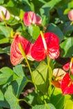 Κόκκινα Anthurium λουλούδια στον κήπο Στοκ εικόνα με δικαίωμα ελεύθερης χρήσης