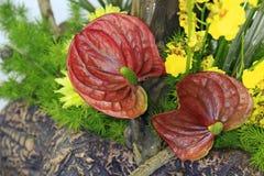 Κόκκινα anthurium λουλούδια Στοκ εικόνα με δικαίωμα ελεύθερης χρήσης