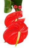 Κόκκινα Anthurium λουλούδια Στοκ εικόνες με δικαίωμα ελεύθερης χρήσης