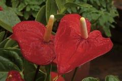 Κόκκινα Anthurium λουλούδι και φύλλα που καλύπτονται στις σταγόνες βροχής Στοκ φωτογραφία με δικαίωμα ελεύθερης χρήσης