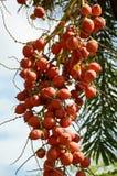 Κόκκινα Areca φρούτα catechu Στοκ εικόνες με δικαίωμα ελεύθερης χρήσης