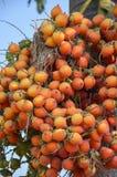 Κόκκινα Areca φρούτα catechu Στοκ Εικόνες