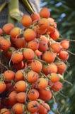 Κόκκινα Areca φρούτα catechu Στοκ φωτογραφία με δικαίωμα ελεύθερης χρήσης