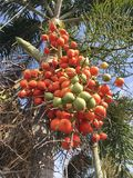 Κόκκινα Areca φρούτα catechu Στοκ Εικόνα
