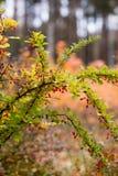 Κόκκινα barberry μούρα Στοκ εικόνες με δικαίωμα ελεύθερης χρήσης