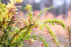 Κόκκινα barberry μούρα Στοκ Εικόνες