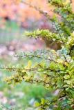 Κόκκινα barberry μούρα Στοκ Φωτογραφίες