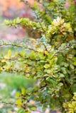 Κόκκινα barberry μούρα Στοκ φωτογραφία με δικαίωμα ελεύθερης χρήσης