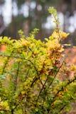 Κόκκινα barberry μούρα Στοκ Φωτογραφία
