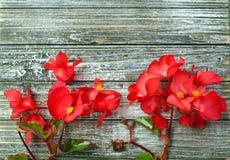 Κόκκινα Begonia λουλούδια στο κατώτατο σημείο του ξύλου στοκ φωτογραφία