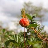 Κόκκινα cloudberries Στοκ Φωτογραφίες