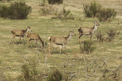 Κόκκινα deers με τα νέα ζώα Στοκ εικόνες με δικαίωμα ελεύθερης χρήσης
