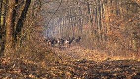 Κόκκινα deers στο δρύινο δάσος φθινοπώρου σε μια ομιχλώδη ημέρα απόθεμα βίντεο