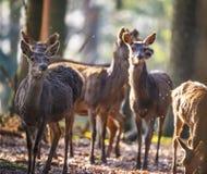 Κόκκινα deers στοκ εικόνα με δικαίωμα ελεύθερης χρήσης