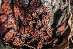 Κόκκινα firebugs, apterus Pyrrhocoris ένα κοινό έντομο Στοκ Φωτογραφίες
