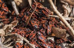 Κόκκινα firebugs, apterus Pyrrhocoris ένα κοινό έντομο Στοκ εικόνα με δικαίωμα ελεύθερης χρήσης