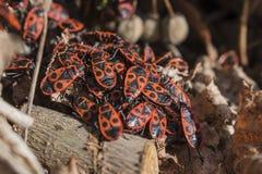 Κόκκινα firebugs, apterus Pyrrhocoris ένα κοινό έντομο Στοκ φωτογραφίες με δικαίωμα ελεύθερης χρήσης