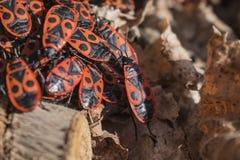 Κόκκινα firebugs, apterus Pyrrhocoris ένα κοινό έντομο Στοκ εικόνες με δικαίωμα ελεύθερης χρήσης