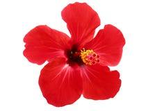 Κόκκινα Hibiscus Κίνα αυξήθηκαν Στοκ φωτογραφίες με δικαίωμα ελεύθερης χρήσης