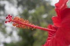 Κόκκινα hibiscus κλείνουν επάνω το στίγμα με το πράσινο υπόβαθρο θαμπάδων Στοκ φωτογραφίες με δικαίωμα ελεύθερης χρήσης