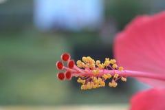 Κόκκινα hibiscus λουλούδια από το νότο της Ινδονησίας της Ασίας στοκ εικόνες με δικαίωμα ελεύθερης χρήσης