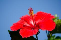 Κόκκινα hibiscus με το μπλε ουρανό Στοκ φωτογραφίες με δικαίωμα ελεύθερης χρήσης