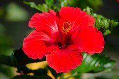 Κόκκινα hibiscus με το πέταλο 5 Στοκ Εικόνες