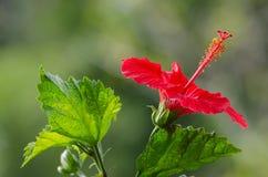 Κόκκινα hibiscus με το πράσινο φύλλο στοκ εικόνες