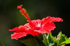 Κόκκινα hibiscus με το πράσινο bokeh στοκ εικόνες