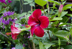 Κόκκινα Hibiscus λουλουδιών Στοκ εικόνες με δικαίωμα ελεύθερης χρήσης