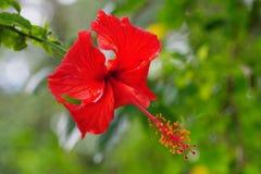 Κόκκινα hibiscus σε τροπικό στοκ φωτογραφίες