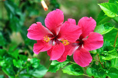 Κόκκινα Hibiscus Στοκ Εικόνες