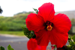 Κόκκινα Hibiscus στοκ φωτογραφία